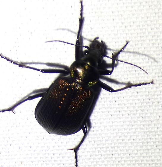 unknown insect - Calosoma