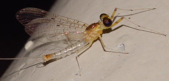 Big-eyed mayfly - Stenacron - male