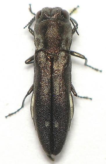 Unid. Buprestid - Agrilus addendus