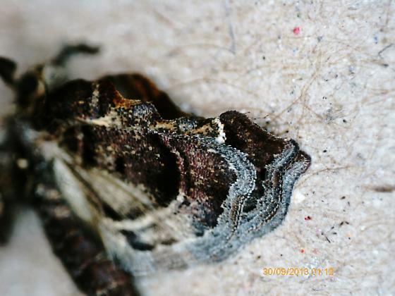 St. Andrews fruit-feeder on Campsis radicans SA1488 2019 5 - Clydonopteron sacculana
