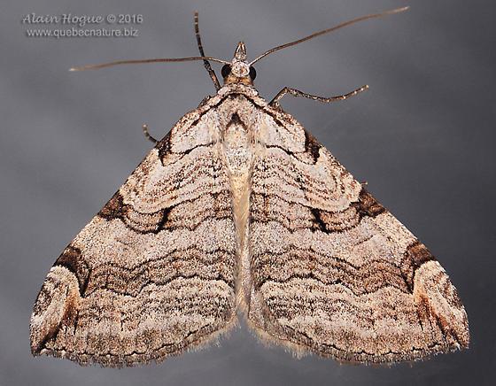 Noctuidae - Aplocera plagiata