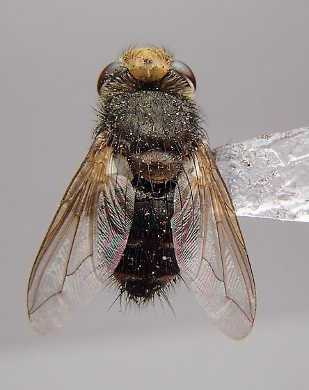 Fly - Gonia brevipulvilli - male