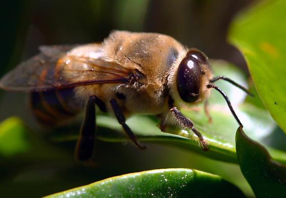 Apidae - Apis mellifera - male