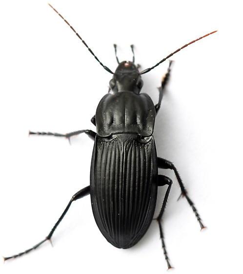 Dicaelus elongatus
