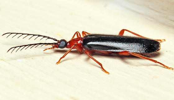 Beetle - Dendroides canadensis