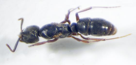 Hypoponera sp. - Hypoponera opaciceps
