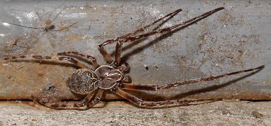 Larinioides - Larinioides sclopetarius - male