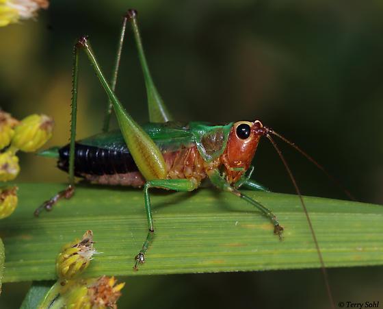Grasshopper - Conocephalus nigropleurum - male