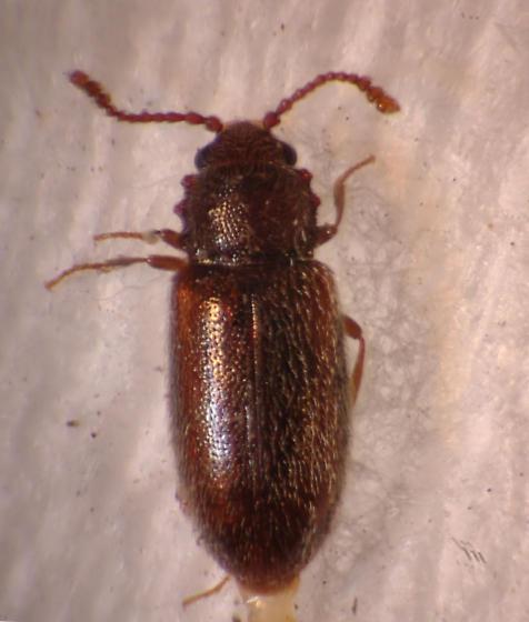 Silken Fungus Beetle - Salebius octodentatus - male