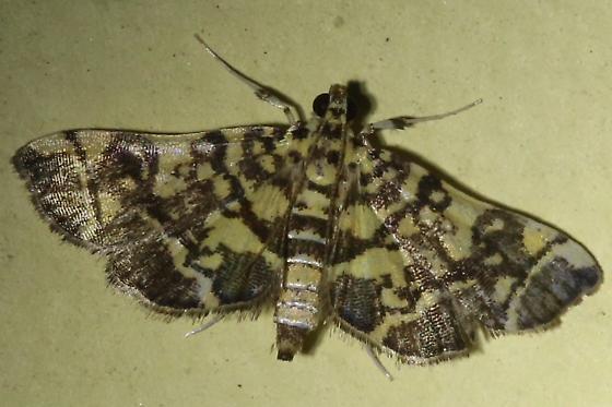 Moth - Apogeshna stenialis
