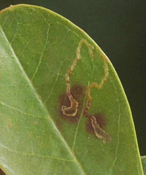 Duke campus leaf miner on Ilex D887 2017 4 - Phytomyza