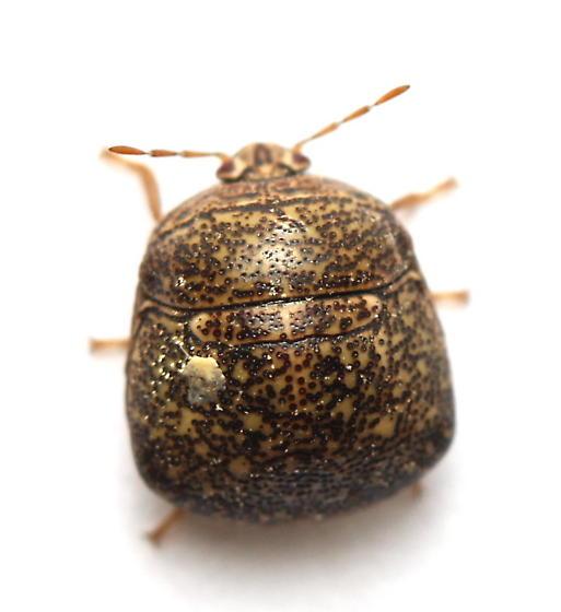 Megacopta cribraria - female