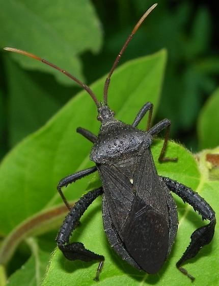 Acanthocephala femorata - female