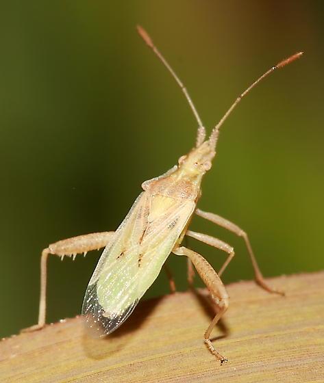 Scentless Plant Bug - Harmostes reflexulus