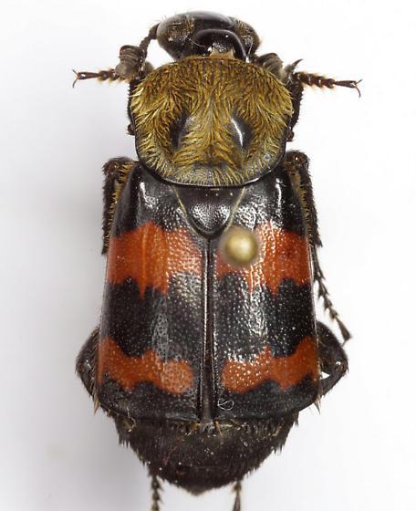 Nicrophorus tomentosus Weber - Nicrophorus tomentosus