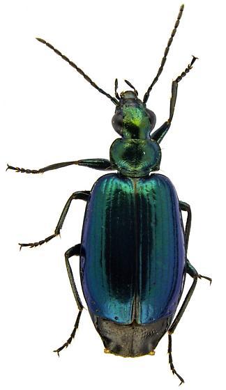 Lebia viridis? - Lebia viridis