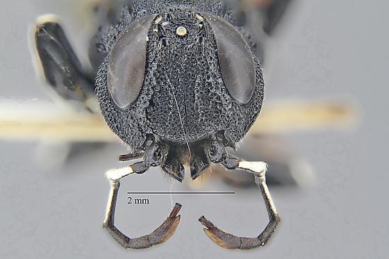 Wasp - Orussus occidentalis - female