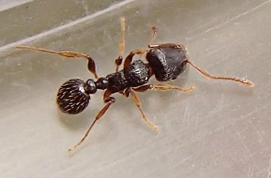 Ant - Tetramorium immigrans