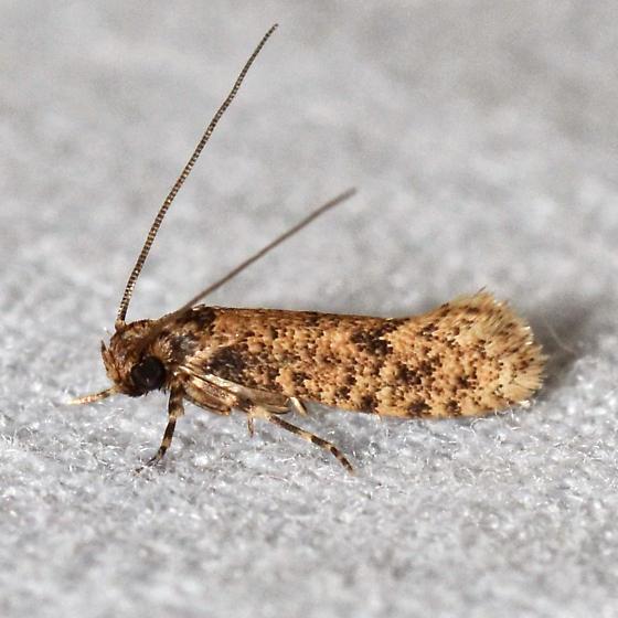 Cephitinea obscurostrigella? - Cephitinea obscurostrigella