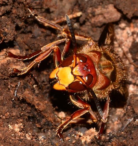 Large wasp - Cicada Killer? - Vespa crabro - female