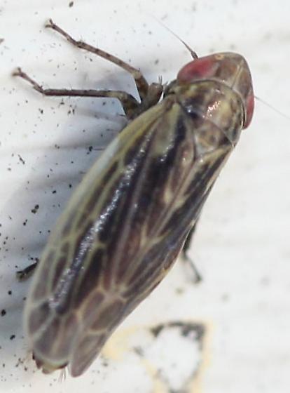 Cicadellidae - Psammotettix