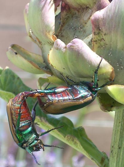 Green fruit beetles mating on an artichoke - Cotinis mutabilis