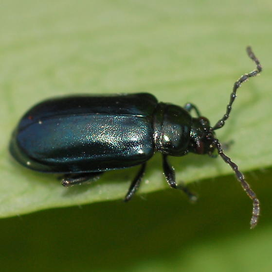 Beetle with kinked antennae - Altica