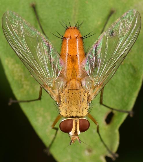 Orange Fly - Leskia