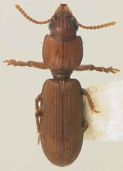 Halocoryza arenaria (Darlington) - Halocoryza arenaria
