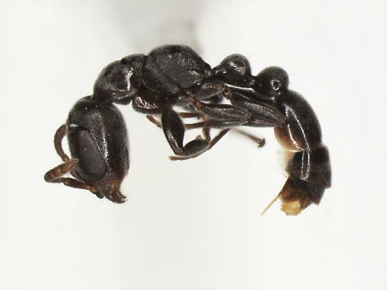 Pseudomyrmex caeciliae - female