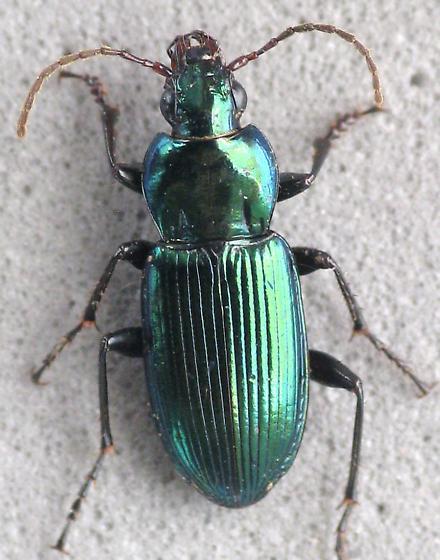 Poecilus diplophyrus? - Poecilus
