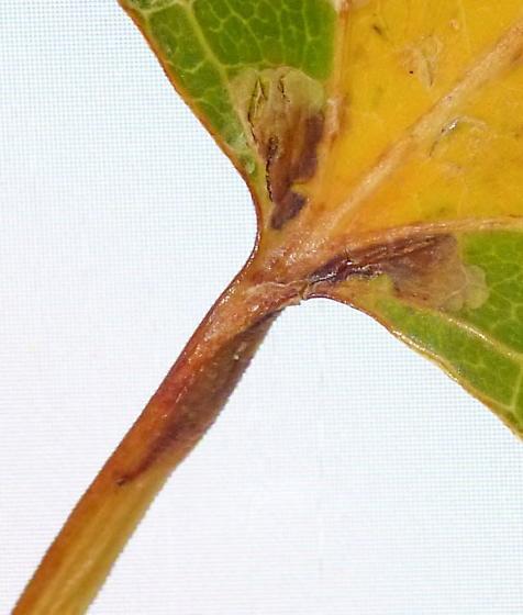 Leaf mine w/ green island on quaking aspen - Ectoedemia argyropeza