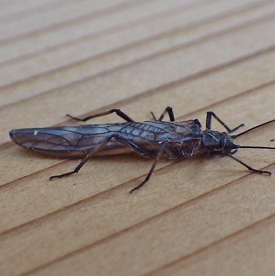 Plecoptera: Taeniopterygidae?