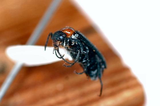 Meloidae Blister Beetle - Nemognatha nemorensis