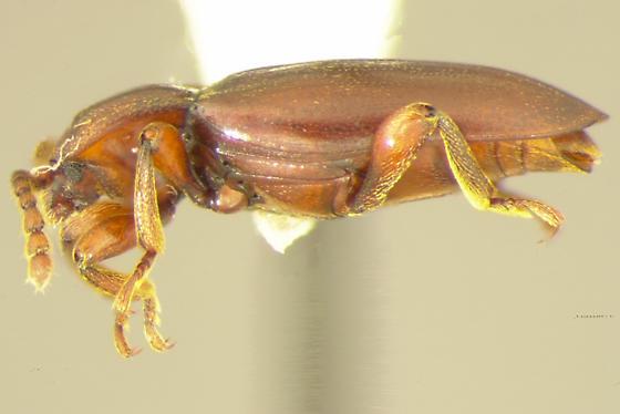 Xenomycetes morrisoni Horn - Xenomycetes morrisoni