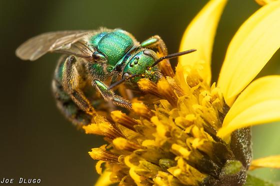 Green Bee - Augochloropsis - female