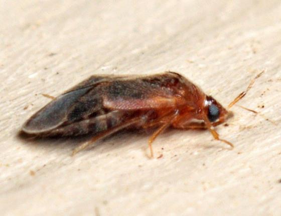 Tiny bug - Cardiastethus assimilis