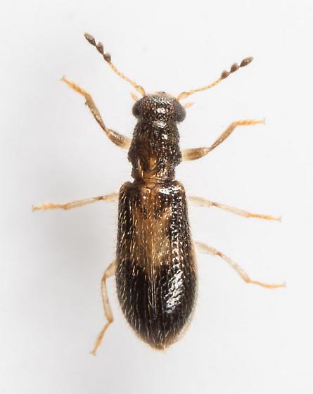 Beetle - Cregya mixta