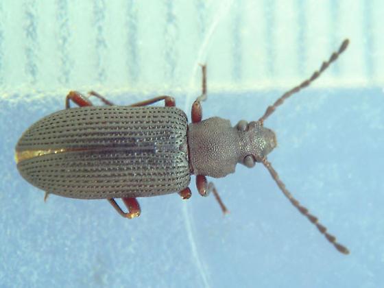 punctured-stria darkling beetle - Helops arizonensis