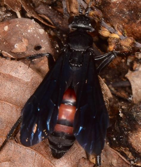 Black wasp - Calopompilus validus