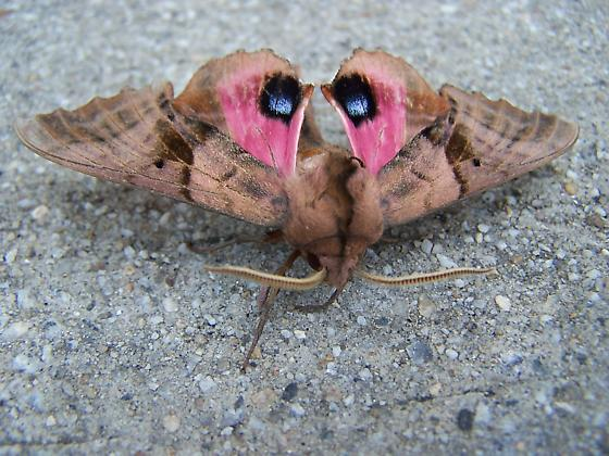 What kind of moth is is? - Paonias excaecata