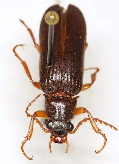 Selonodon speratus (Fall) - Selonodon speratus