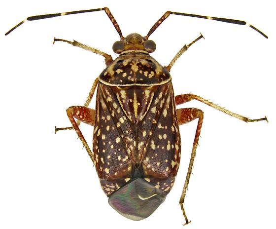 Male, Taedia - Taedia maculosa - male