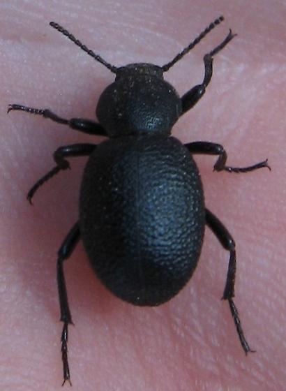 Tenebrionidae  7-13-11 01b - Eleodes