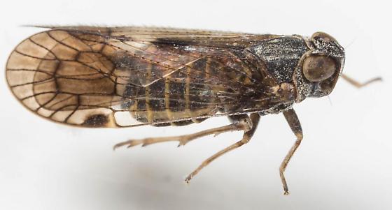 Planthopper - Melanoliarus - female