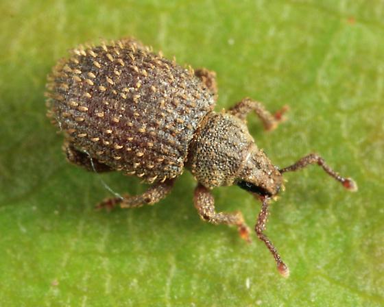 weevil - Cathormiocerus aristatus