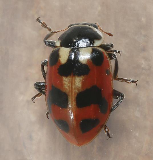 Hippodamia