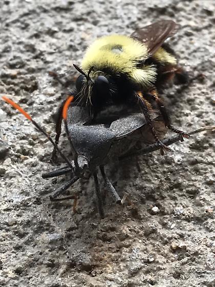 Bee mimic eats leaf-footed bug? - Laphria thoracica