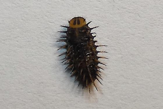 Curinus coeruleus Larva - Curinus coeruleus