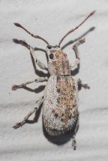 Brown and gray weevil - Pseudoedophrys hilleri